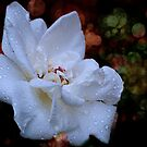 A White Beauty by Pat Moore