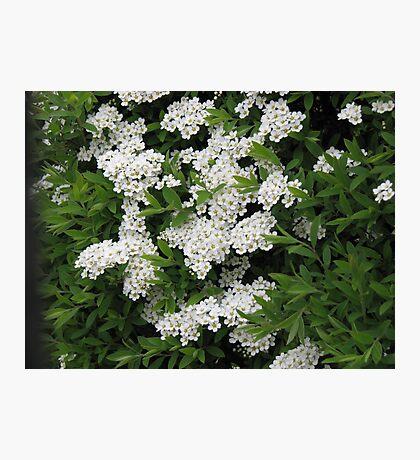 Pretty White Spiraea Blossoms  Fotodruck