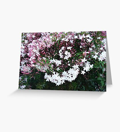 Beautiful Jasmine Flowers In Full Bloom Greeting Card
