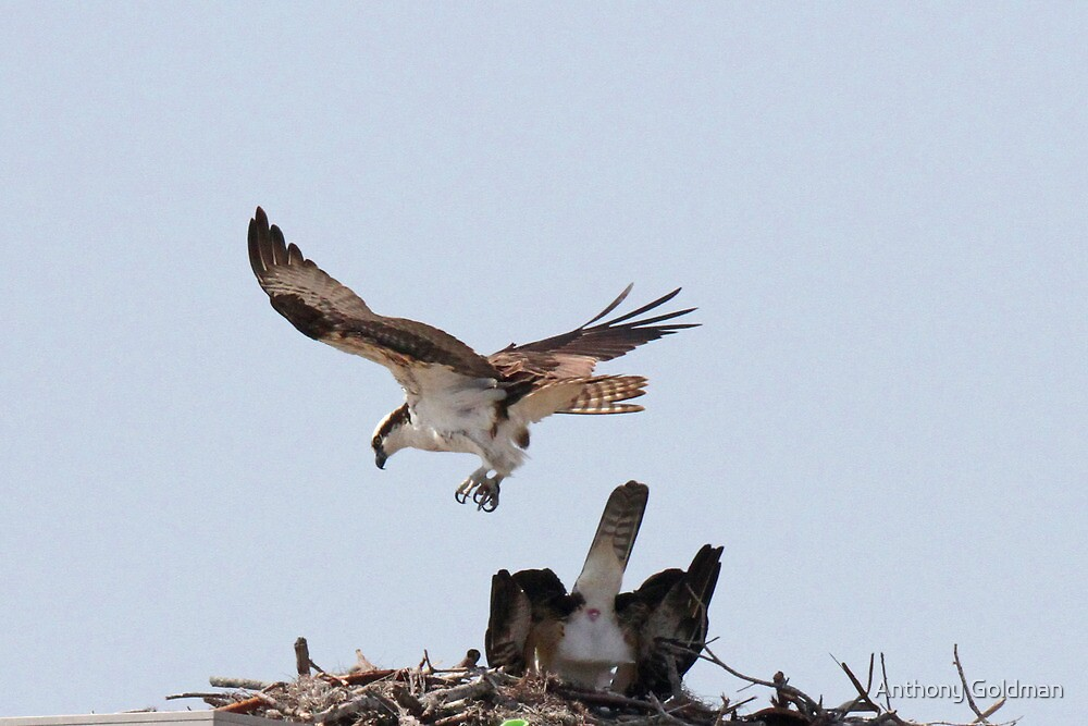 Valentine special-mating osprey style by jozi1