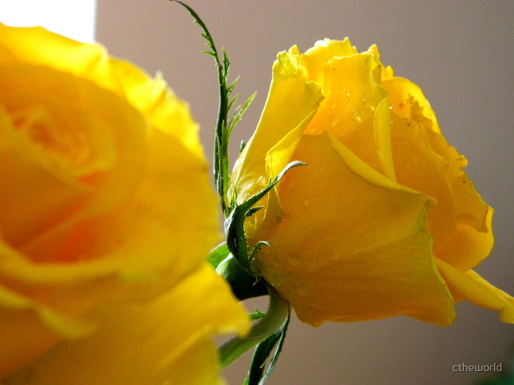 YELLOW ROSES - 1   ^ by ctheworld