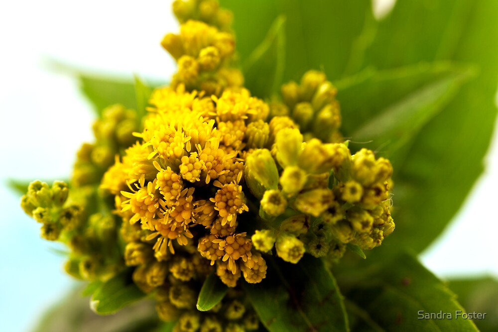 Golden Rod - Solidago Wild Flower  by Sandra Foster