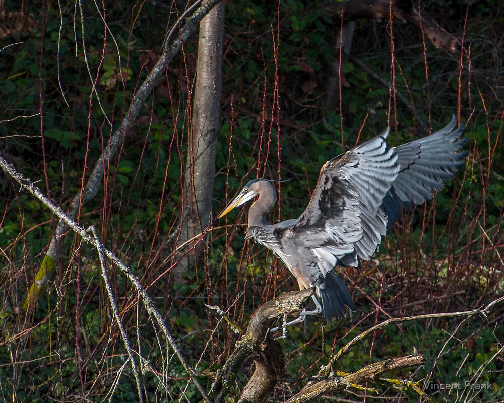 Landing On A Branch - Tacoma, WA - U.S.A. by Vincent Frank