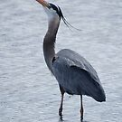 Great Blue Heron by Jean Knowles