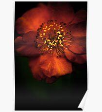 Blood Orange Anemone Poster