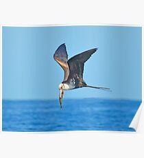 Great Frigate Bird Poster