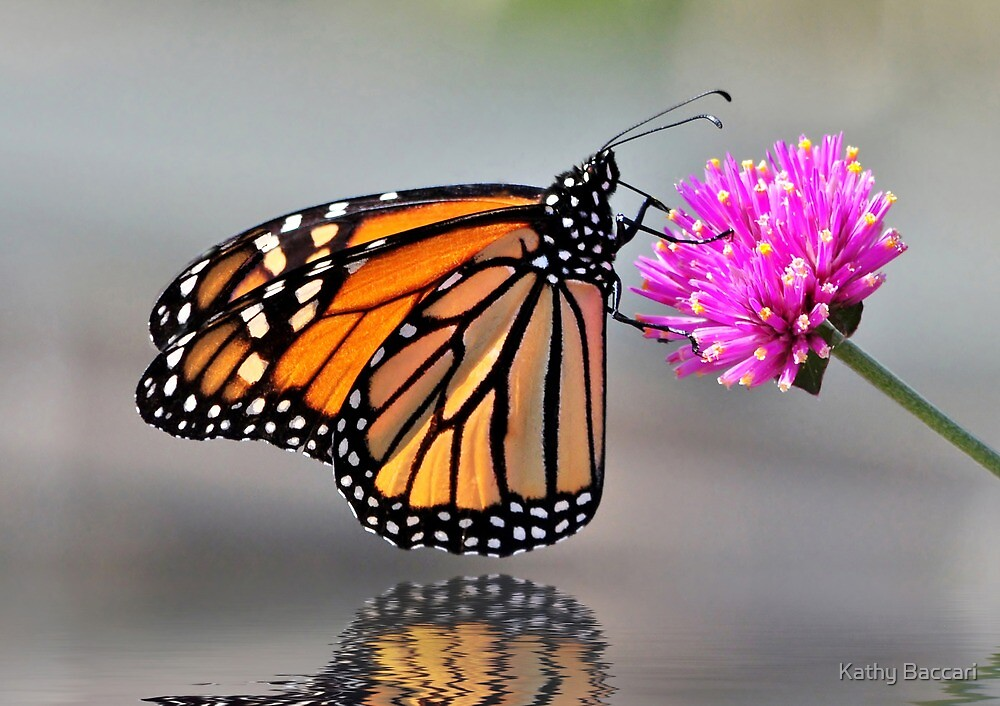 Monarch Butterfly On A Bright Pink Flower by Kathy Baccari