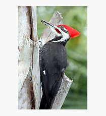 Pileated Woodpecker Photographic Print