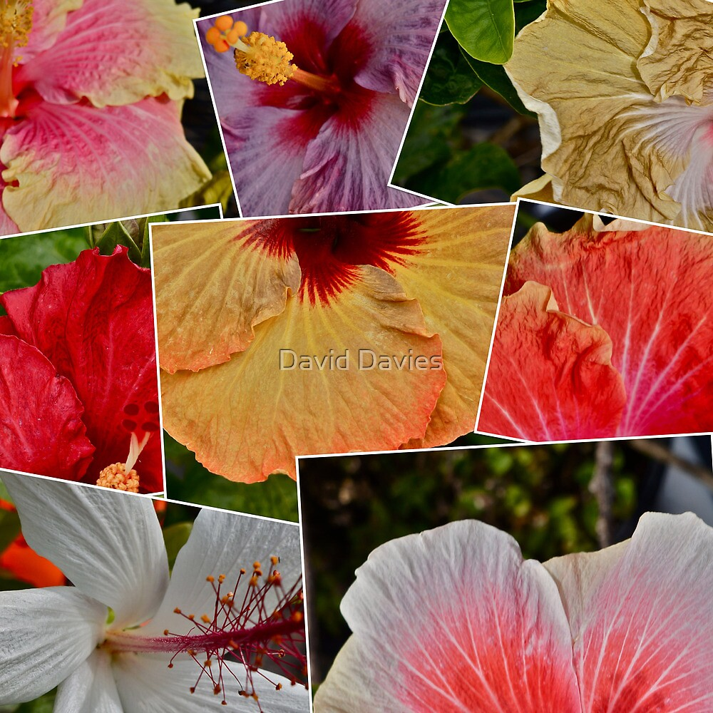 Hibiscuses (hibisci?) 2 by David Davies