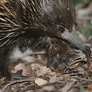 Urban Wildlife: Echidna II by Aakheperure