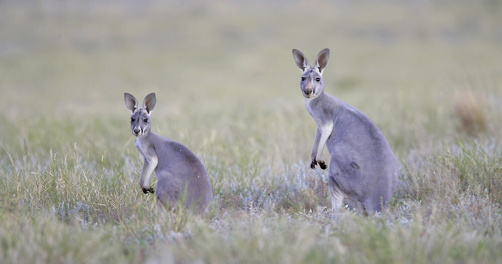 Red Kangaroos by Rob Drummond