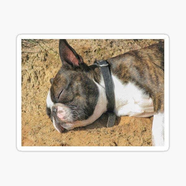 Boston Terrier sleeping Sticker
