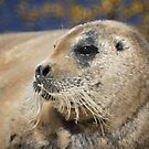 Bearded seal by Jean Knowles