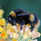 More of the bumble bee  by Elaine Game