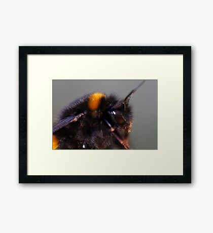Not by the hair on my chinny ,chin,chin said this bumblebee Framed Print