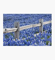 Texas Bluebonnets and an old Wooden Fence Photographic Print