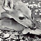 Baby Deer by Megan Vaughan
