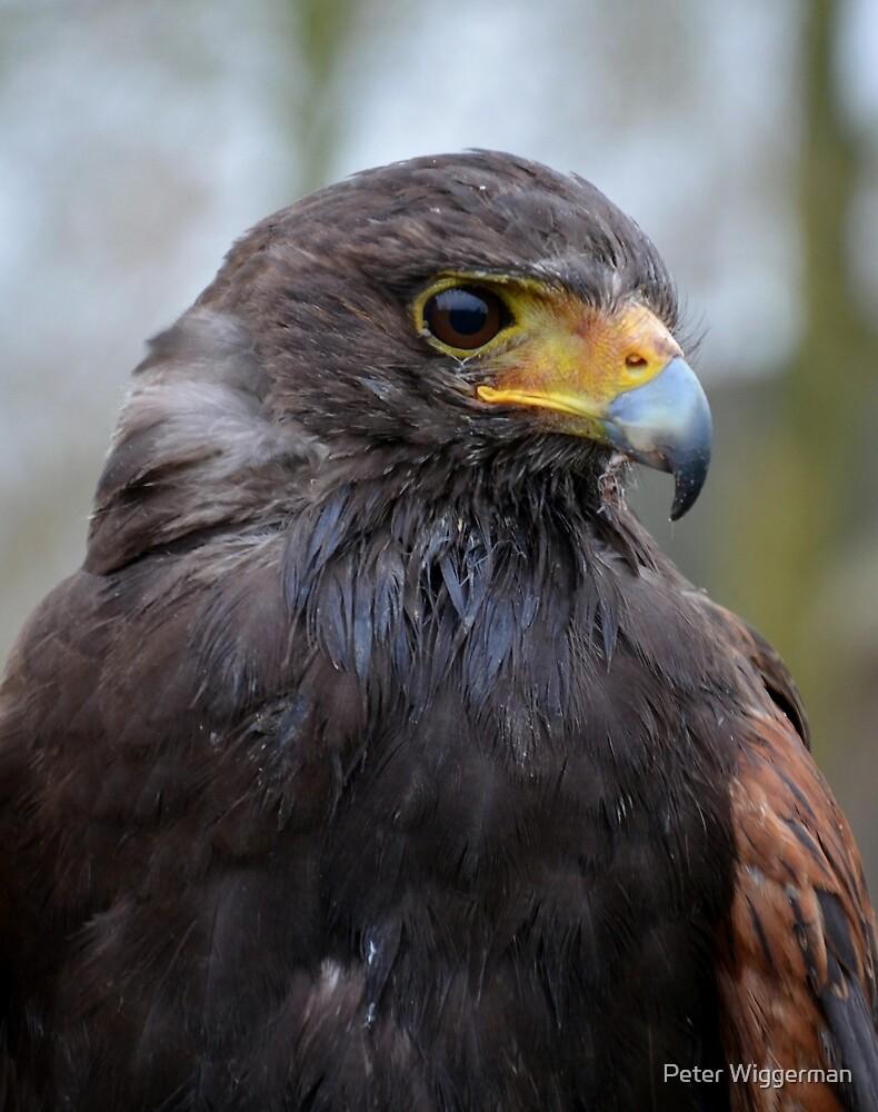 American Hawk  profile by Peter Wiggerman
