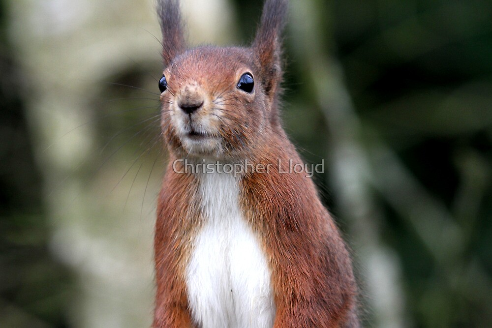 Red Squirrel 3 by Christopher Lloyd