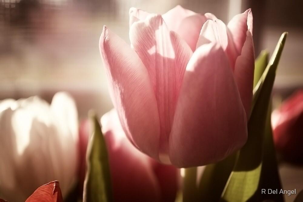 tulip by R Del Angel