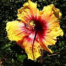 Hibiscus sinensis by Anita Deppe