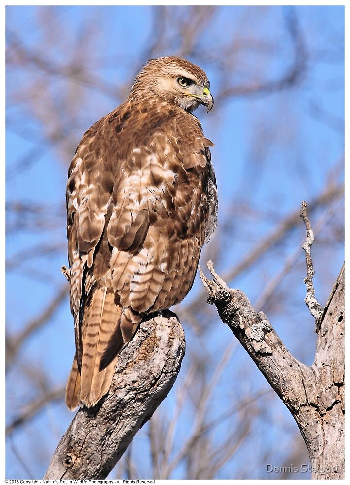 Hawk Closeup 2013 by Dennis Stewart