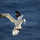 Landing -- Northern Gannet by Jean Knowles