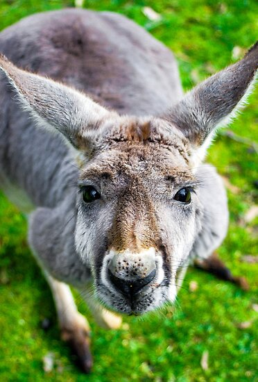 Face Off With A Kangaroo. by Nick Griffin