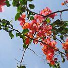 Bougainvillea by Caren