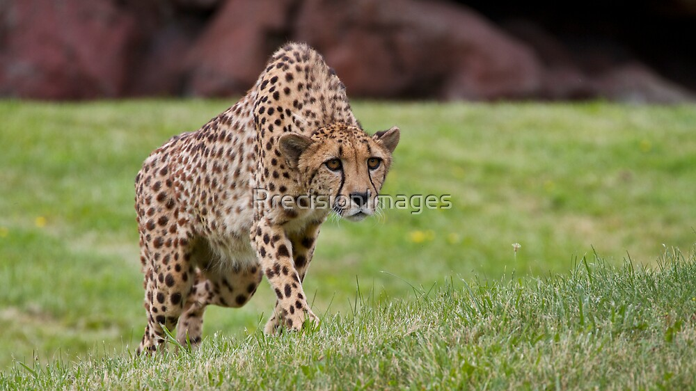 Stalking Cheetah by PrecisionImages