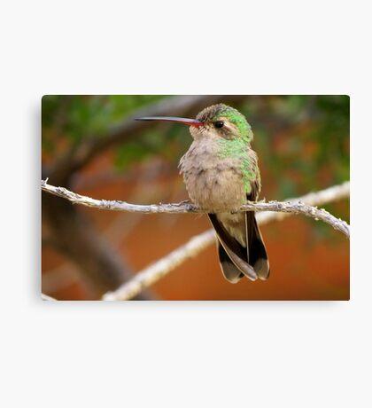 Broad-billed Hummingbird (Female) Canvas Print