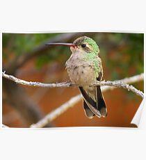 Broad-billed Hummingbird (Female) Poster