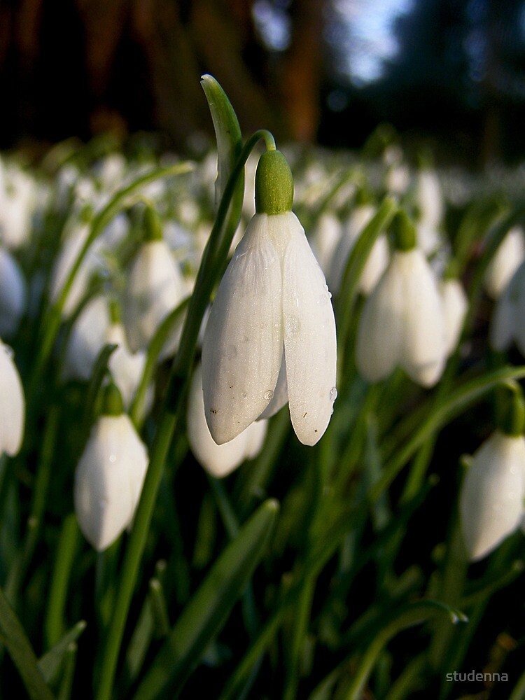 snowdrops by studenna