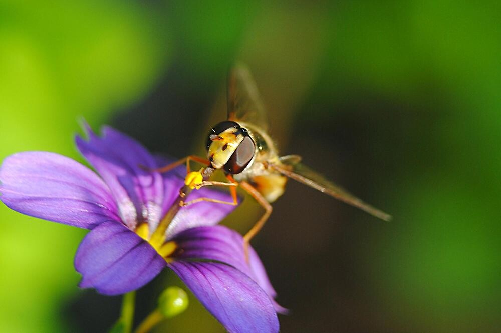 Hover Fly Harvesting Nectar by Kay1eigh