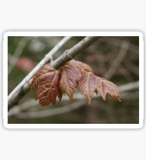 Spring maple Sticker