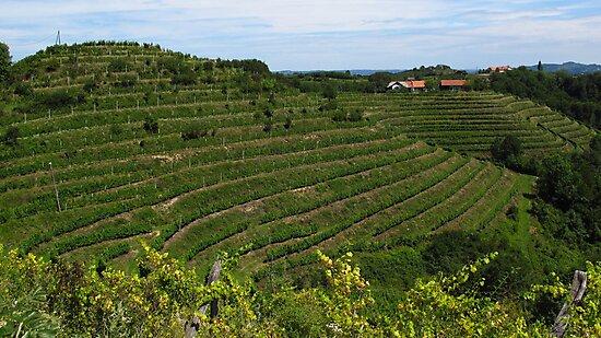 Vineyard by Dalmatinka