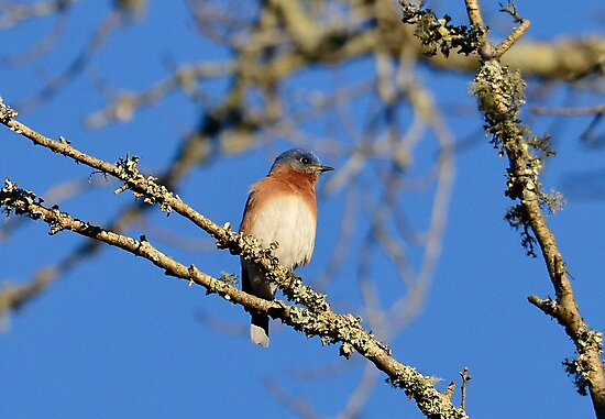 BLUE BIRD SITTING IN A TREE IN the morning Sun by TJ Baccari Photography