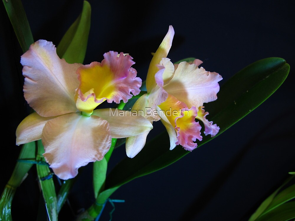 Orchid starlet by MarianBendeth