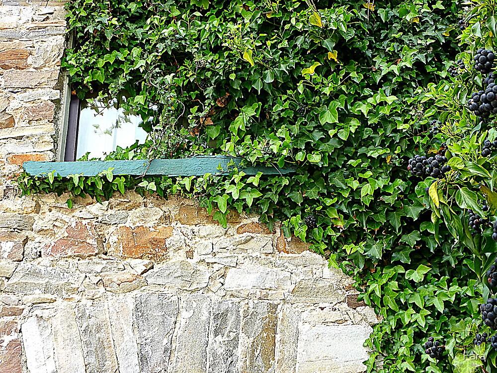 Ivy Clad Window by Fara