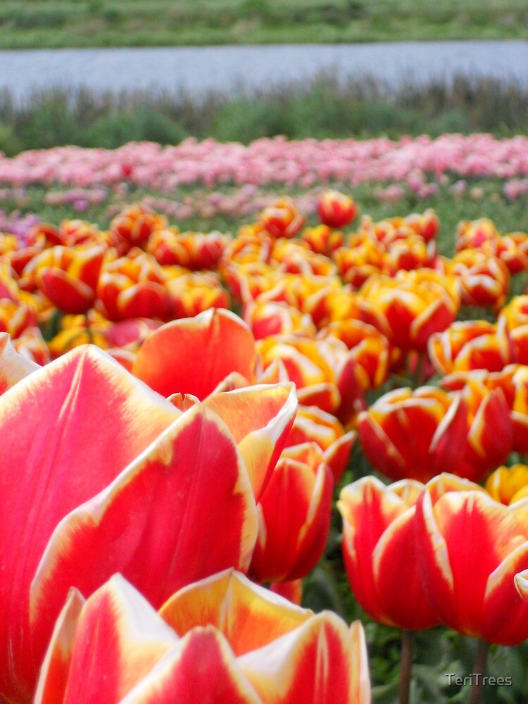 Field of Tulips by TeriTrees