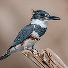 Female Belted Kingfisher by (Tallow) Dave  Van de Laar