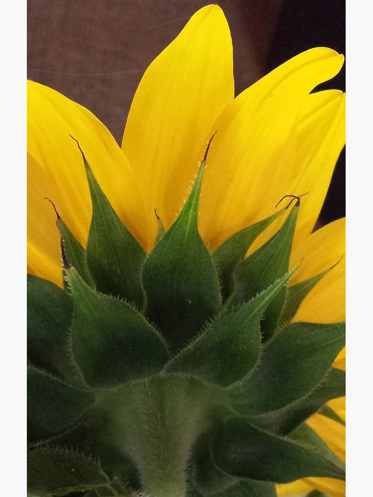 Backside of the Sunflower by colgdrew