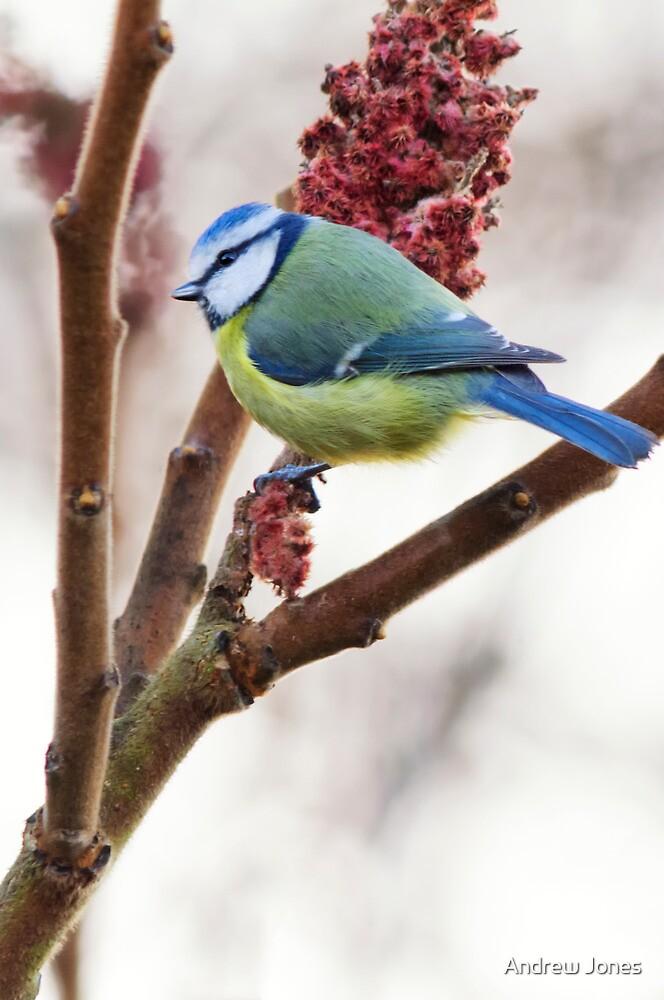Blue tit feeding on winter rhus, County Kilkenny, Ireland by Andrew Jones