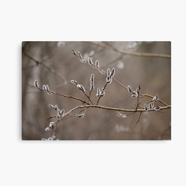 Pussy willow catkins Canvas Print