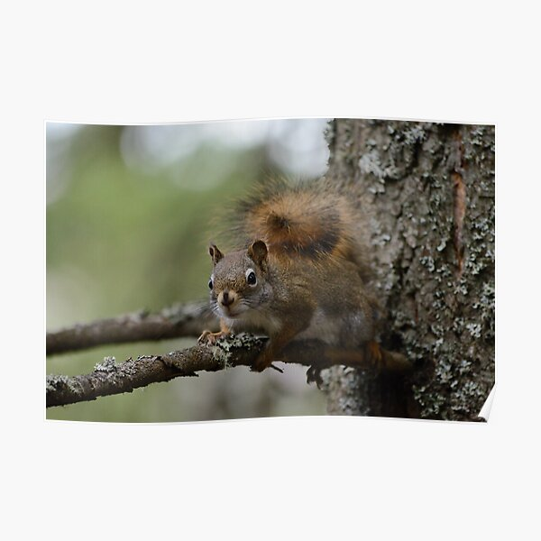Squirrel in fir tree 1 Poster