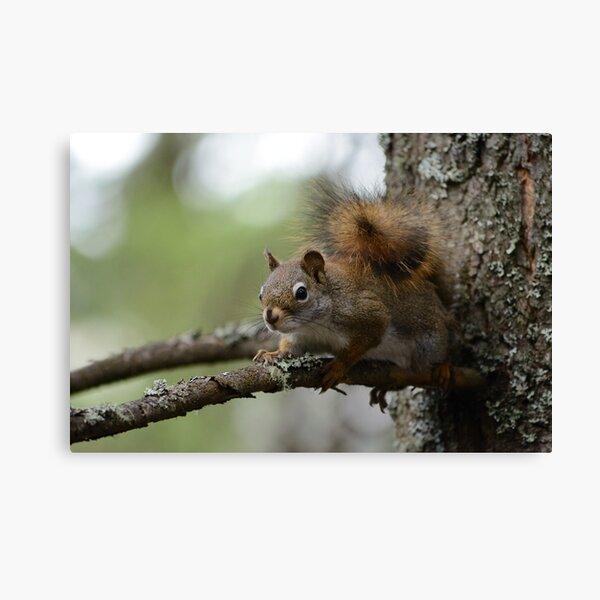 Squirrel in fir tree 2 Canvas Print