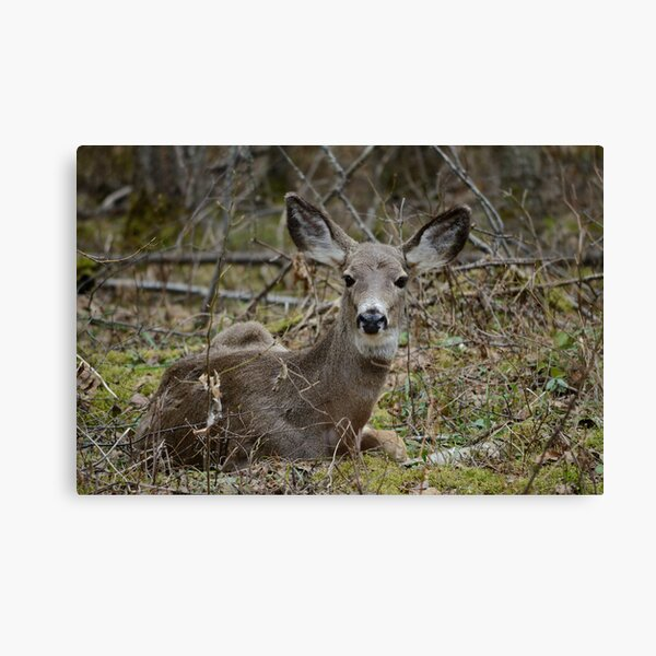 Doe resting in the woods Canvas Print