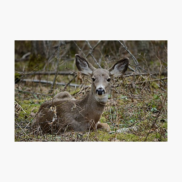 Doe resting in the woods Photographic Print