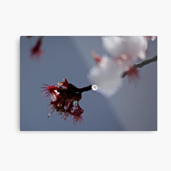 Cherry Blossom in Ice Metal Print