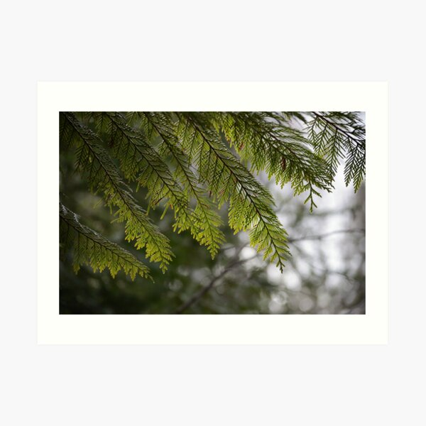Cedar leaves Art Print